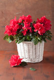 Beautiful red azalea flowers in basket over rustic background Stock Images
