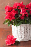 Beautiful red azalea flowers in basket over rustic background Stock Photography