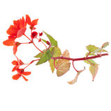 Beautiful red begonia Royalty Free Stock Image