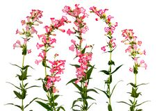 Free Beautiful Red Bell Shaped Penstemon Stock Photos - 190892123