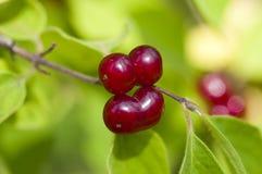 Beautiful red berries Stock Image