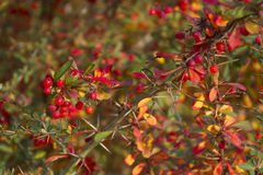 Beautiful red berries Stock Image