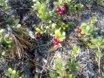 Red bilberry. A beautiful red bilberry berry grows in the forest in the autumn time royalty free stock photography