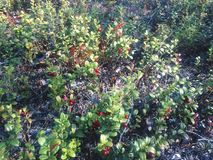 Red bilberry. A beautiful red bilberry berry grows in the forest in the autumn time stock images