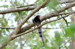 Red-billed Blue Magpie (Urocissa erythrorhyncha) Stock Photos