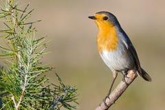 Beautiful red bird Stock Image