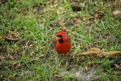 Cardinal in the Grass stock photography