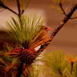 Beautiful red bird sitting on the branch. Royalty Free Stock Images