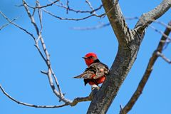 Beautiful red and black Vermillion Flycatcher, pyrocephalus obscurus, perched on a tree, Uruguay. South America Stock Image