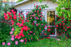 Beautiful red blooming rose flower bush in home garden at countryside at summer. Decorations and gardening. Beautiful red blooming rose flower bush in home Royalty Free Stock Photography