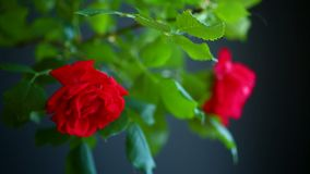 Beautiful red blooming roses. On a black background stock video footage