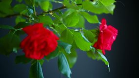 Beautiful red blooming roses. On a black background stock video