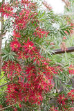 Beautiful red bottlebrush Callistemon tree flowers Royalty Free Stock Photography