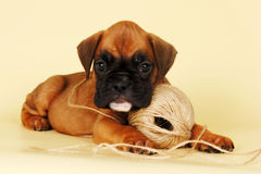 Beautiful red boxer puppy playing with a ball of yarn Royalty Free Stock Photography