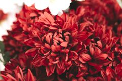 Beautiful red bright chrysanthemums bouquet. Romance, wedding or holiday concept for greeting card, wallpaper. White. Background royalty free stock images
