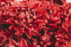 Beautiful red bright chrysanthemums bouquet. Romance, wedding or holiday concept for greeting card, wallpaper. White. Background royalty free stock image