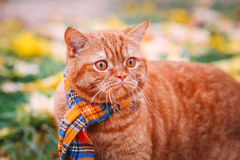 Beautiful Red british Cat with Yellow Eyes n a blue scarf Outdoor. Autumn cat in yellow leaves. Pet stock image