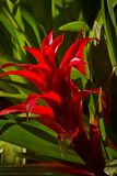 Beautiful red Bromelia tropical flower from Stock Images