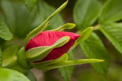 Red rose bud on a branch. Beautiful red bud of blossoming dog rose on a branch royalty free stock images