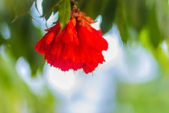 Beautiful red budding Pride of Burma flowers (Amherstia nobilis) on tree in the forest. Amherstia nobilis, also known as Pride of. Burma, the Orchid Tree. It is stock photo