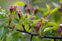 Beautiful Red buds Stock Images