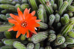 Beautiful red cactus flower Stock Photos