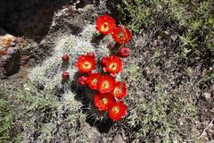 Beautiful red cactus flowers in bloom. Beautiful red cactus flowers shot in Dinosaur National park in utah. The flowers are in bloom Stock Photography