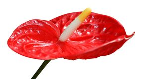 Beautiful red calla on isolated background. Beautiful red calla on white isolated background stock photo