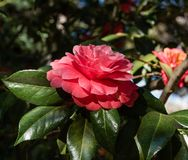 Beautiful red camellia flower in springtime. Southern California stock photo