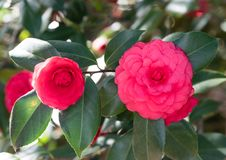 Beautiful red camellia flower in springtime. Southern California royalty free stock images