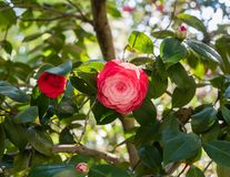 Beautiful red camellia flower in springtime. Southern California royalty free stock image