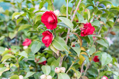 Beautiful red camellia flowers inside a greenhouse Royalty Free Stock Photography