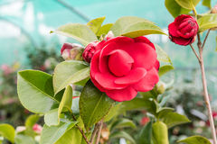Beautiful red camellia flowers inside a greenhouse Stock Photos