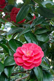 Beautiful red camellia Royalty Free Stock Image