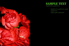 Beautiful red  carnation flower Royalty Free Stock Image
