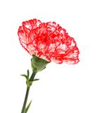 Beautiful red carnation Stock Photos