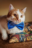 Beautiful red cat with bow tie. Pretty beauty portrait. Lying on sofa. Pretty red cat with bow tie lying on sofa portrait Royalty Free Stock Photography