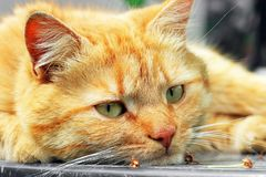 Beautiful red cat close-up. The cat lies on the table.  royalty free stock photo