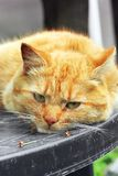 Beautiful red cat close-up. The cat lies on the table.  stock photography
