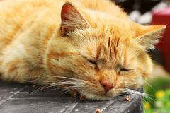 Beautiful red cat close-up. The cat lies on the table.  royalty free stock image