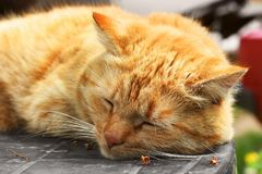 Beautiful red cat close-up. The cat lies on the table.  stock image