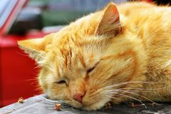 Beautiful red cat close-up. The cat lies on the table.  royalty free stock images