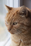 Beautiful red cat close-up. Royalty Free Stock Photography