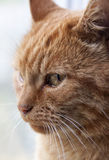 Beautiful red cat close-up. Royalty Free Stock Photos