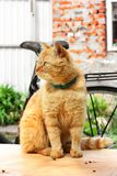 Beautiful red cat close-up. The cat is sitting on the table.  royalty free stock photo