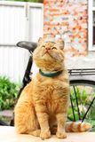 Beautiful red cat close-up. The cat is sitting on the table.  stock images