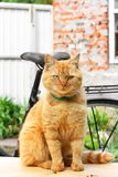 Beautiful red cat close-up. The cat is sitting on the table.  stock photos