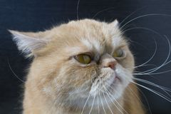Beautiful red cat. Exotic breed, muzzle close-up royalty free stock images