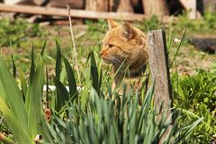 Beautiful red cat in the grass royalty free stock photography