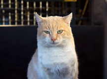 Beautiful red cat  looking at camera outdoors Royalty Free Stock Photography